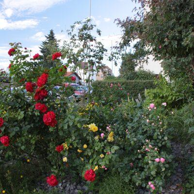 Různé barvy a vůně růží