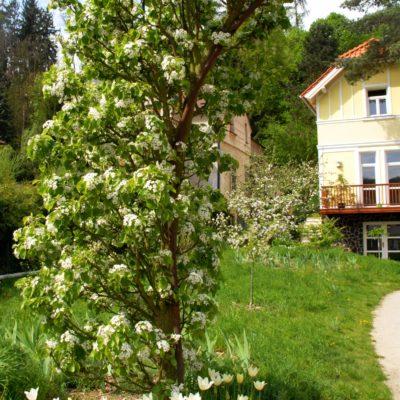Zahrada Snezenka hrusen u vstupu