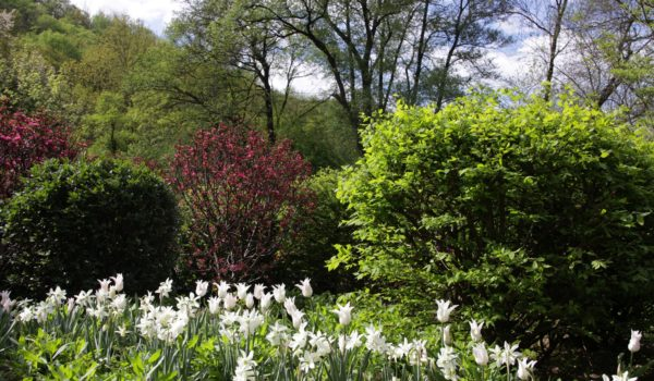 Tvarované koule z listnatých keřů s jarními cibulovinymi: Tulipa 'White Triumphator' a Narcissus 'Thalia'.